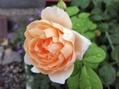 今日のバラ。