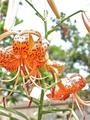 ヘリオプシスの花芽きた。