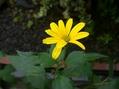 宿根姫ひまわり 開花
