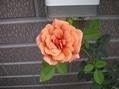 2番花が咲き出しました~