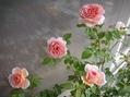 2番花が咲き出しました ②