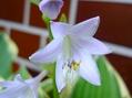 スパイダ-リリ‐咲きました。