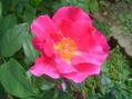 暑い庭に咲く花