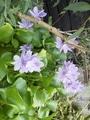 ホテイアオイの花、満開です