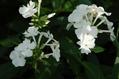 フロックスとムラサキツユクサの白花