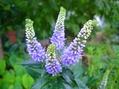 アニソドンテア ベロニカ ツルバキア咲いてます
