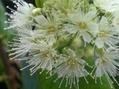 レモンマートルの花