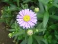 菊のようなマーガレットのような