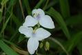 白い花の兄弟