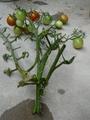 ミニトマトの枝、水差しで生き延びてます。