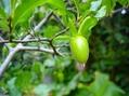 ロウヤ柿の実が大きくなりました。