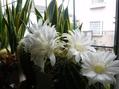 今年もたくさんの白いサボテンの花が咲きました。