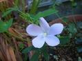 原種ハイビスカス『ロバツス』の種