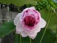 妙蓮が開花しました、