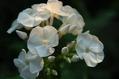 今日咲いた白花
