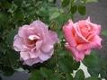 2番花が咲きました~ 3