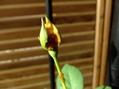 マルチブルー二番花