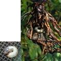 鉢植えバラを枯らす害虫