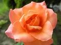 アンネのバラ~♪