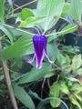 インテの2番花開花中