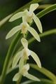 恵蘭・玉簾(ぎょくれん)の花