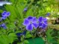 紫錦唐松 白花サルスベリ デュランタ咲きました。
