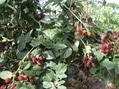 ブラックベリー収穫