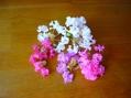 サルスベリもうⅠ色咲きました。