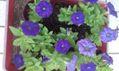 挿し芽のお花たち