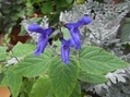 実家の庭から 夏 その3 「青い花」