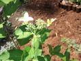 アジサイの初開花