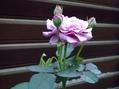 カクトラノオが咲きました