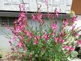 ガウラとミニ花壇