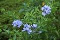 青い花復活