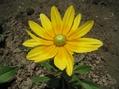 ルドベキア開花 ・ジニア種蒔き