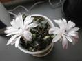 サボテン'バッテリー'の花