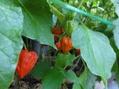 庭の花 ミニトマト