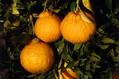 【ショップ】デコポンなど柑橘類を販売