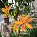 八重咲き朝顔とクレマチス
