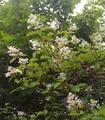 まだ咲いているシネンシス