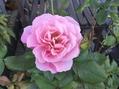 ベーサルシュートの二番花