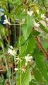 ニーム 21世紀の木-488  ニームは薬用植物の中でも最も重要