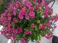 春から咲き続ける花。