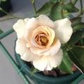 3番花…「エバンタイユ ドール」2⃣‼️