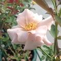3番花…「クチュールローズ チリア」‼️