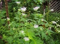 ハーブの花