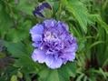 紫玉・・・やっと咲いてくれました