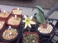ロドフィアラ交配種 初花咲きました