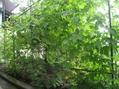 緑のカーテン6年目