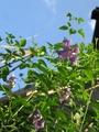 クレマチス芳香種 ヴィセチラ系